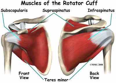 Muscles_Rotator_Cuff